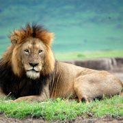 14 days safari zanzibar lion male