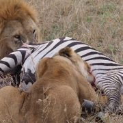 Lions Tanzania Safari