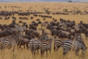 Wildebeests Zebras Serengeti 14 Days