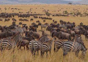 Wildebeests Zebras Serengeti 14 Days