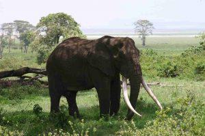 Elephant Ngorongoro Safari