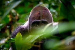 Gorilla tracking Tanzania Safari