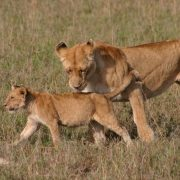 Ngorongoro safari Lions
