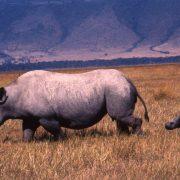 Ngorongoro Safari Rhinos