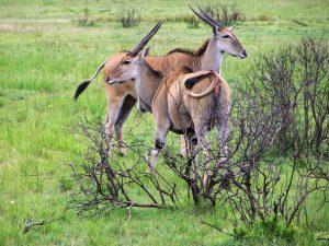 selous safari kudus