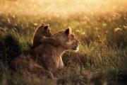 Lioness Serengeti National Park