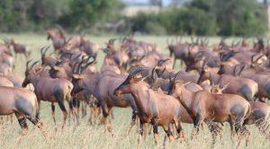 topi Tanzania Serengeti