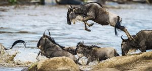 Wildebeests Migration Crossing Serengeti