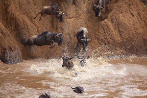 Wildebeests Migration Crossing River