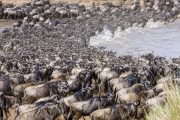 wildebeests migration river crossing serengeti