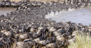 wildebeests migration river crossing serengeti