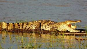 Crocodiles Selous safari