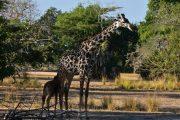 giraffes Selous safari Zanzibar