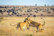 Kilimanjaro safari Serengeti lions