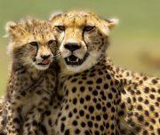 6 day camping safari cheetahs