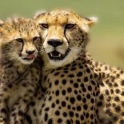 6 day camping safari cheetahs