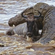 Crocodiles Wildebeests Mara-River