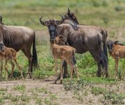 Wildebeests Calving Safari Tanzania
