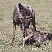 wildebeests calving safari