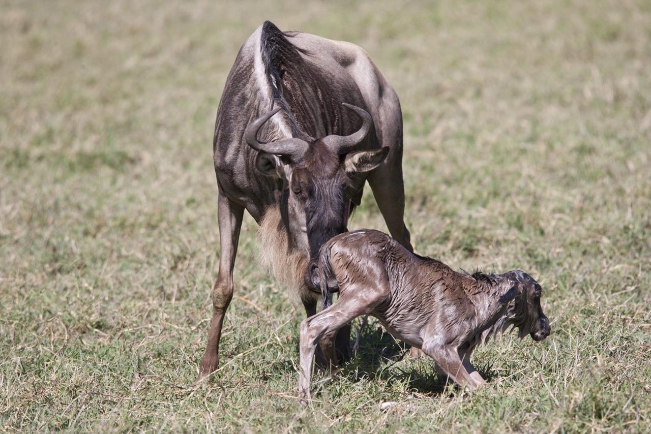 wildebeests calving safari
