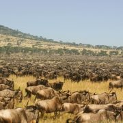 wildebeests calving safari ndutu