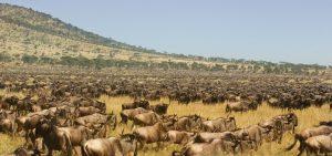 wildebeests calving safari ndutu