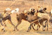 selous wild dogs