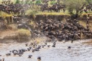 wildebeests migration Tanzania
