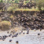 wildebeests migration Tanzania