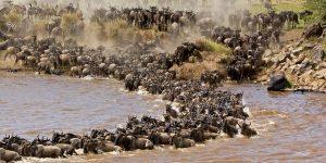 wildebeests migration safari in Tanzania