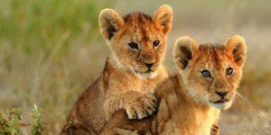 Lion cubs Tanzania