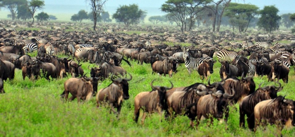 Wildebeests Migration Safari Ndutu