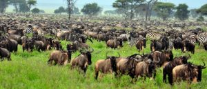 Wildebeests Migration Safari Ndutu