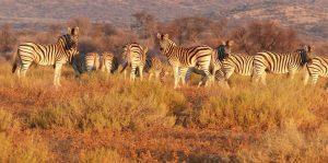 Mikumi Park Bandas Plains Zebras
