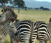 Mikumi Park Bandas Zebras