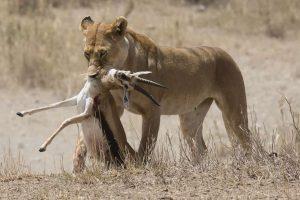 lioness kill Tanzania safari