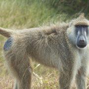 Baboons Mikumi