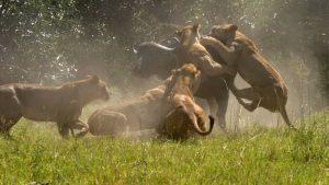 Lions Kill Mikumi Safari