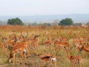 Mikumi Wildlife Impalas