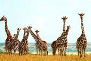 Luxury safari Tanzania Giraffes