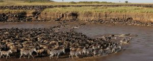 wildebeests river crossing tanzania