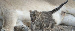 Leopard Sucking Lioness Tanzania