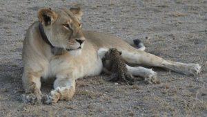 lioness leopard cub Tanzania