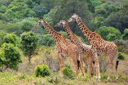 giraffes lake manyara