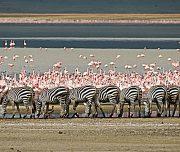 Plain zebras Ngorongoro safari