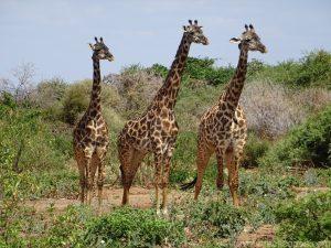 Masai Giraffes Tanzania