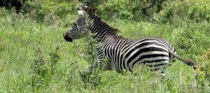 South Tanzania Safari Zebra