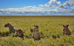 Lions of Serengeti