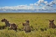 Lions at Serengeti