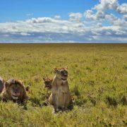 Lions at Serengeti